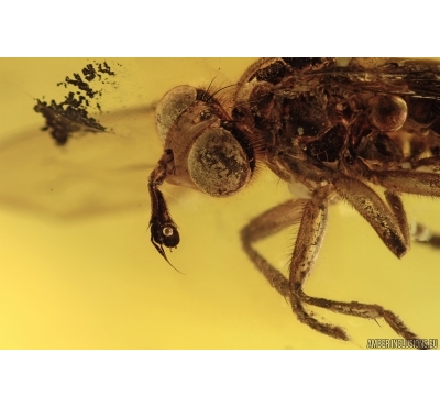 CONOPIDAE Large Thick-Headed Fly. Fossil insect in BALTIC AMBER #1982