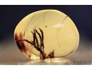 BRYOPHYTA. Several Great Moss Twigs. Inclusion in BALTIC AMBER #2281