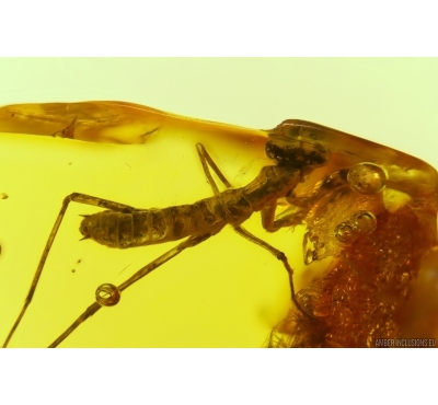 MANTODEA, Praying Mantis In BALTIC AMBER #4003