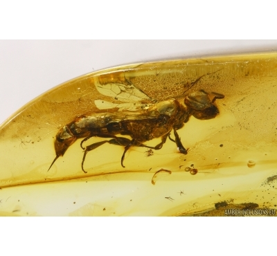 Hymenoptera, Wasp. fossil inclusion in BALTIC AMBER #4102