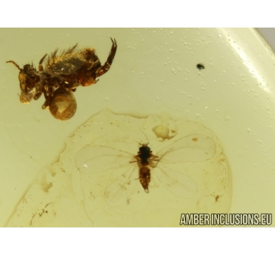 WHITERFLY, ALEYRODOIDEA and Springtail Collembola in Baltic amber # 4380