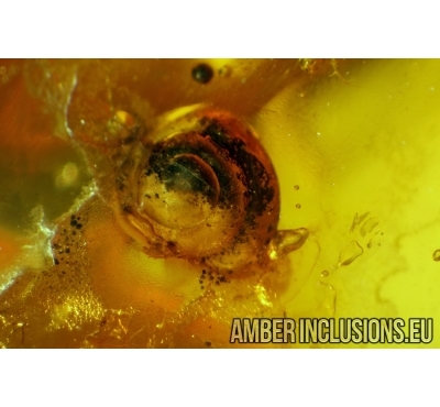 Snail SHELL, GASTROPODA in Baltic amber #4295