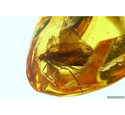 CADDISFLY, TRICHOPTERA in Baltic amber #4328