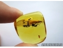 Very Big Plecoptera, Stonefly in Baltic amber #4511