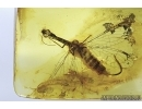 EXTREMELY RARE, Spread Wings  SNAKEFLY, RAPHIDIOPTERA in Baltic amber #4621