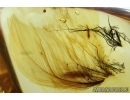 Aves, Very rare Bird feathers, probably with bird lice, Mallophaga in Baltic amber stone #4698