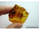 REPTILIA, Big 10mm! Lizard Skin Fragment and More in Baltic amber #4779