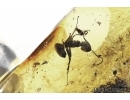 Ant and Aphid Symbiosis in Baltic amber #4809