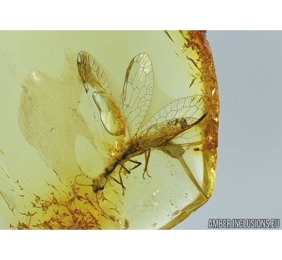EXTREMELY RARE SNAKEFLY, RAPHIDIOPTERA in Baltic amber #5024