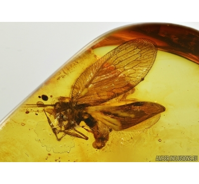 PLANIPENNIA, Neuroptera, Lacewing in Baltic amber 5131
