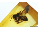APOIDEA, Honey Bee in Baltic amber #5163