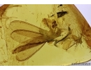 ISOPTERA, TERMITE and APHID in BALTIC AMBER #5177