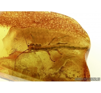 Very Big, nice Walking stick, Phasmatodea in Baltic amber #5234