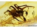 BIG Spider, Araneae in Baltic amber#5236