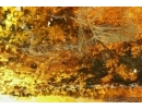 Aves, Very rare Feathers. Fossil inclusions in Big Baltic amber stone #5397