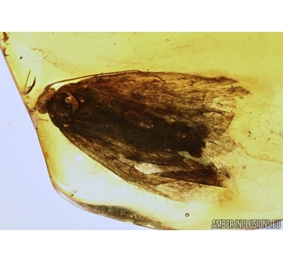 Lepidoptera, Moth with Parasitic Round Worm. Fossil insect in Baltic amber #5430