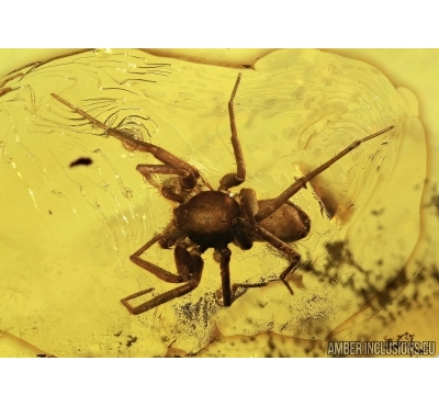 Araneae, Big Spider. Fossil inclusion in Baltic amber #5447
