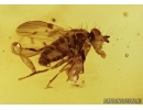 Termite Isoptera, Orthoptera, Cricket, Cicada, Acalyptratae, Muscoid fly and More.  Fossil inclusions in Dominican amber #5454