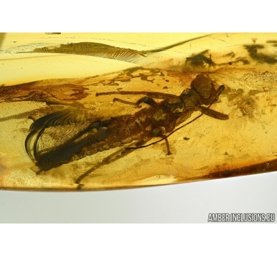 PHASMATODEA, WALKING STICK. Fossil inclusion in BALTIC AMBER #5456