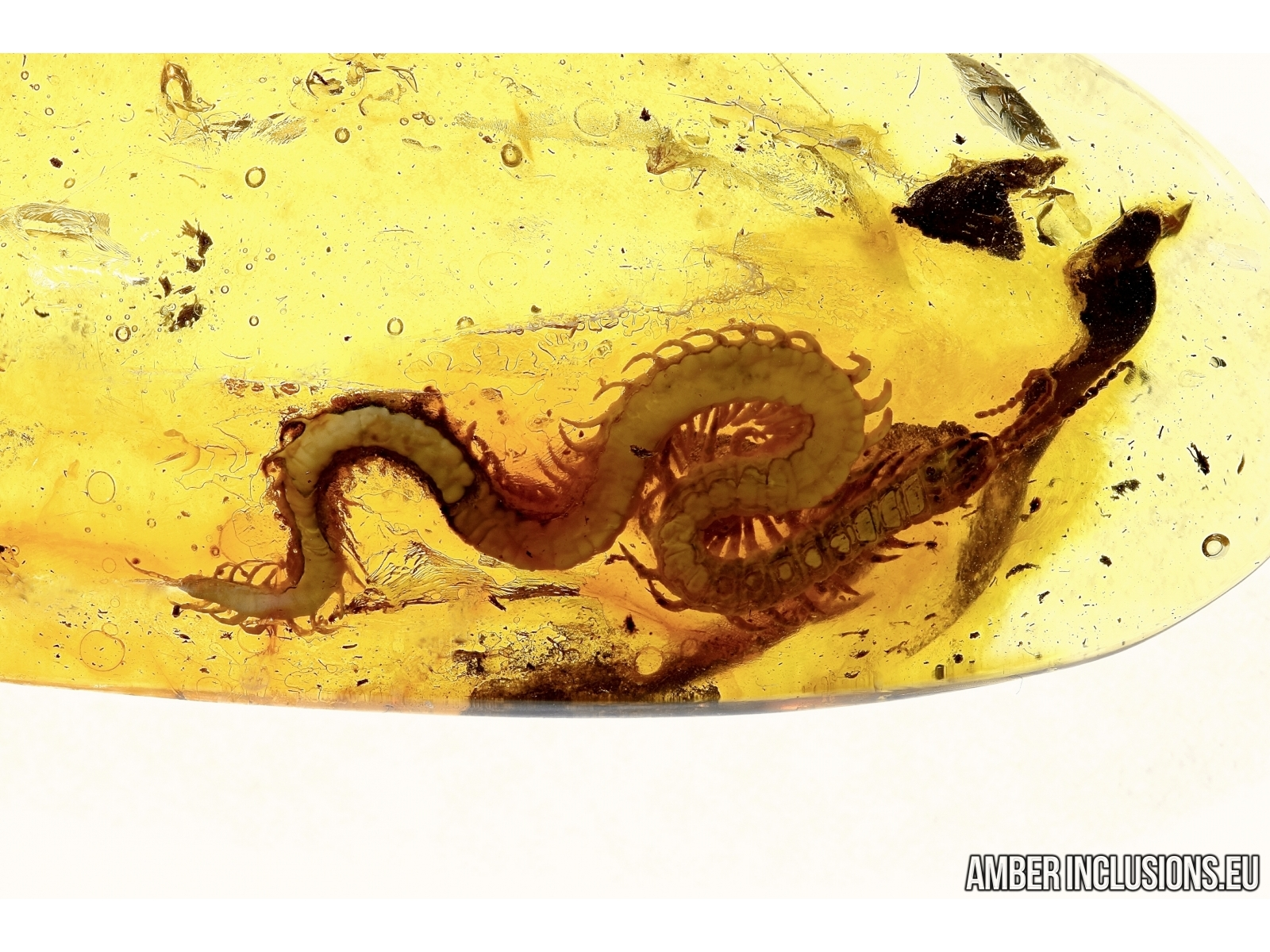 Fossil inclusion in Baltic amber #5477