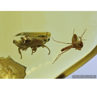 Blattaria, Cockroach and Gnat. Fossil insects in Baltic amber #5496