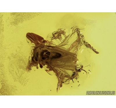 TWISTED-WINGED (STYLOPID), STREPSIPTERA. Fossil insect in Baltic amber #5497