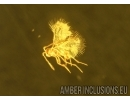 Webspinner, Embioptera with Mite and Wasp. Fossil Inclusions in BALTIC AMBER #5566