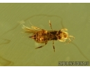 THYSANOPTERA, Thrips and Ant. Fossil insects in Baltic amber #5574
