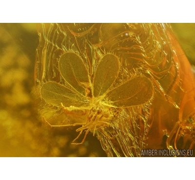 WHITEFLY ALEYRODOIDEA , ACARI MITE and MORE. Fossil insects  in Baltic amber #5586