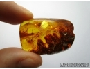 BIG 27mm! PLANT, FLORA. Fossil inclusion in Baltic amber #5587