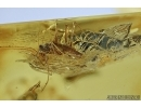 MANTODEA, Praying Mantis and Empididae, Dance fly. Fossil insects in BALTIC AMBER #5655