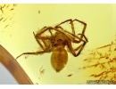 Araneae, Spider. Fossil inclusion in Baltic amber #5660