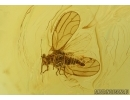 Rare Psyllid, Psylloidea. Fossil insect in Baltic amber #5720