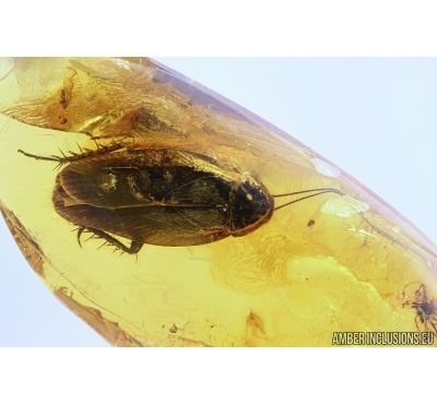 Big 15mm! COCKROACH, BLATTARIA. Fossil insect in Baltic amber #5747