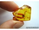 APOIDEA, Honey Bee. Fossil insect in Baltic amber #5757