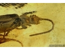 Rare Reticulated Beetle , CUPEDIDAE. Fossil insect In BALTIC AMBER #5821