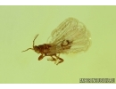 THYSANOPTERA, THRIPS. Fossil insect in Baltic amber #5891