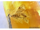 ISOPTERA, BIG TERMITE and WASP. Fossil inclusions in BALTIC AMBER #5932