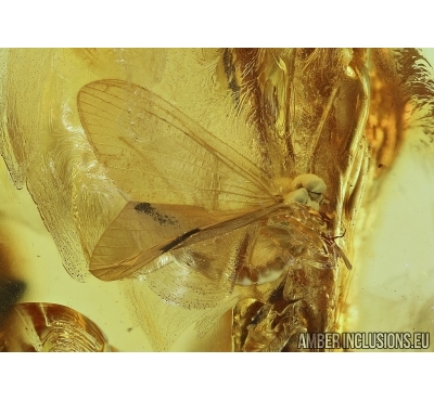 Ephemeroptera, Mayfly. Fossil insect in Big  Baltic amber stone #5946