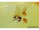 Very Nice Winged Ant. Fossil insect in Baltic amber #6004