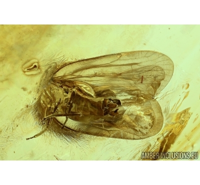 WINGED PLANTHOPPER, CICADA. Fossil insect in Baltic amber #6037
