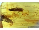 Two Caddisflies, Trichoptera. Fossil insects in Baltic amber #6038