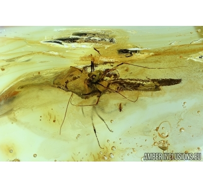 Harvestman, Opiliones, Ant and Beetle. Fossil inclusions in Baltic amber #6048