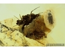 Rare Coccid, Ortheziidae and Beetle. Fossil insects in Baltic Amber #6050