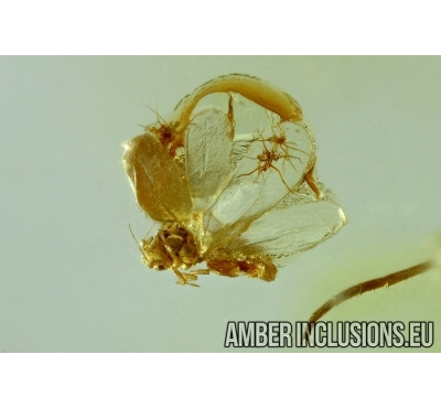 WHITERFLY, ALEYRODOIDEA. Fossil insect in Baltic amber #6085