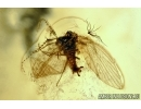 PLANIPENNIA, Neuroptera, Lacewing and Psychodidae, Moth fly. Fossil insects in Baltic amber #6092