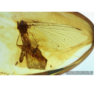 Ephemeroptera, Big Mayfly. Fossil insect in Baltic amber #6124