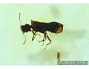 Very Rare Beetle, Coleoptera. Fossil insect in Baltic amber #6142
