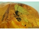 Hymenoptera, Many Ants, Spider, Cicada and More. Fossil insects in Big Baltic amber #6148