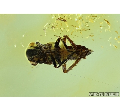 PLANTHOPPER, CICADA in SPIDER WEB! Fossil inclusions in Baltic amber #6159